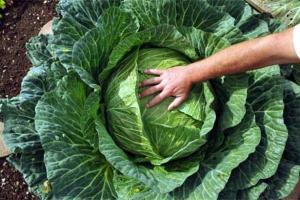 Alaskan cabbage